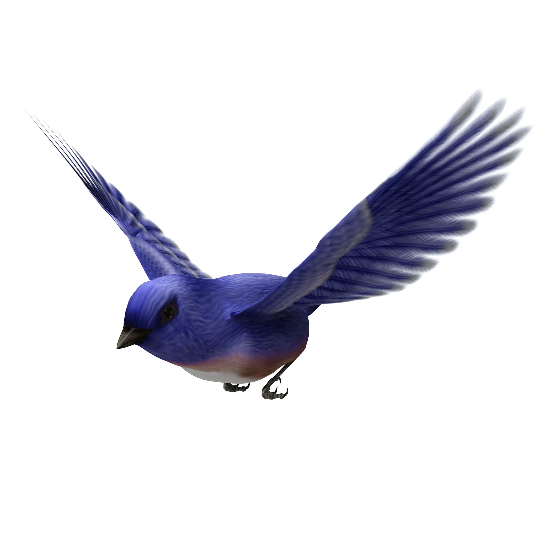A bluebird in flight