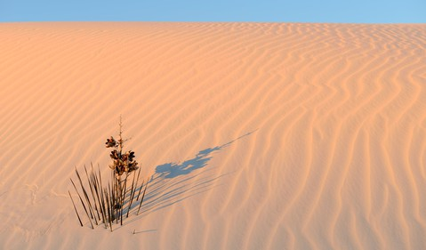 Yucca plant in desert by Getty