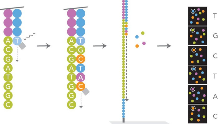 Schematic of Illumina's sequencing technology: sequencing by synthesis