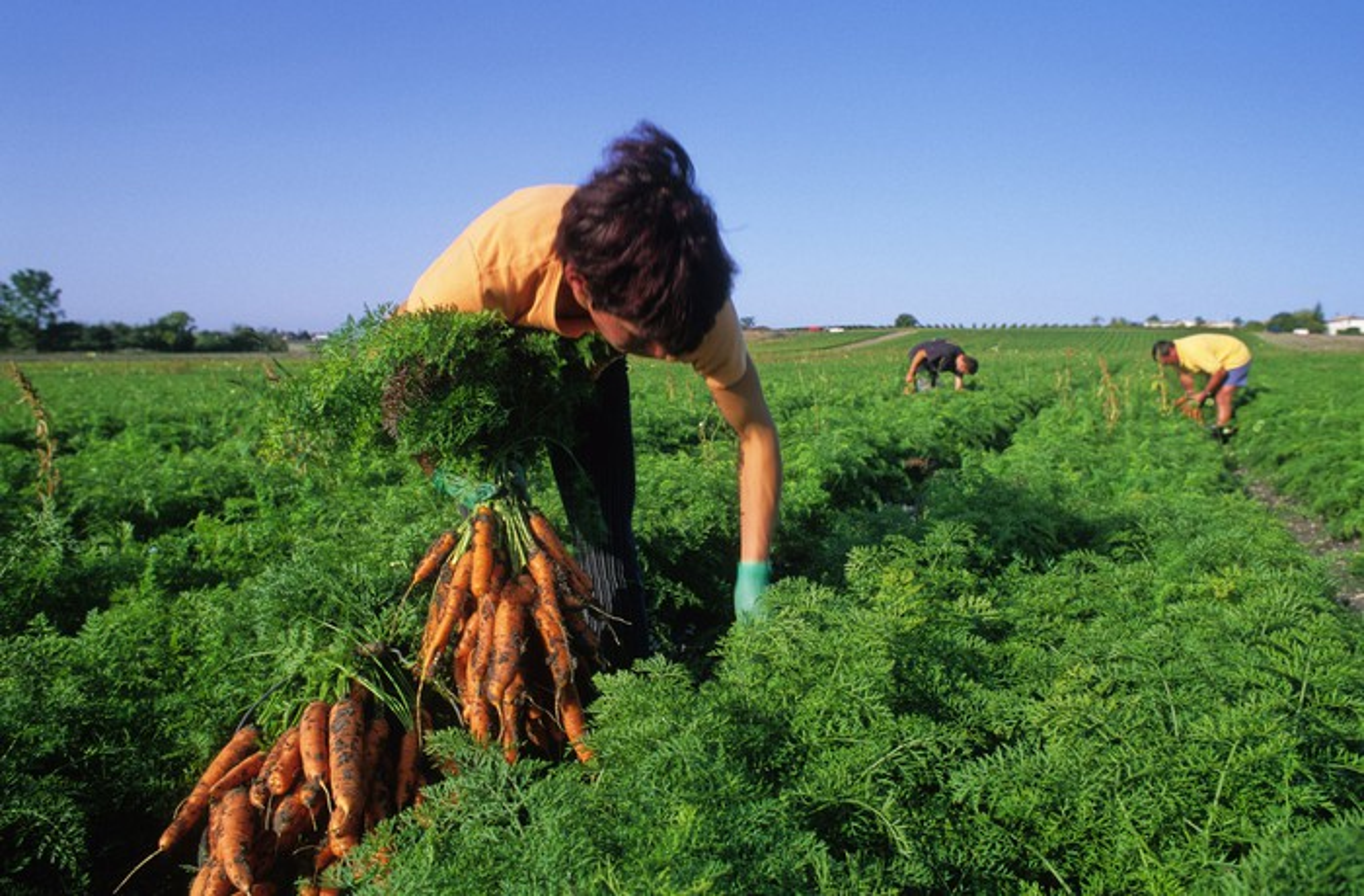 A worker picks carrots on a farm.