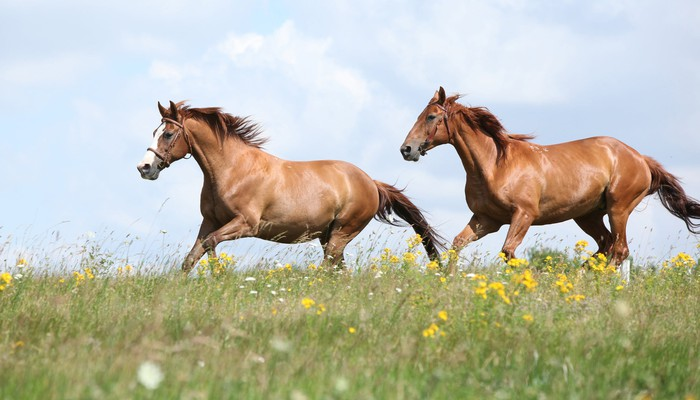 Two horses running in a field.