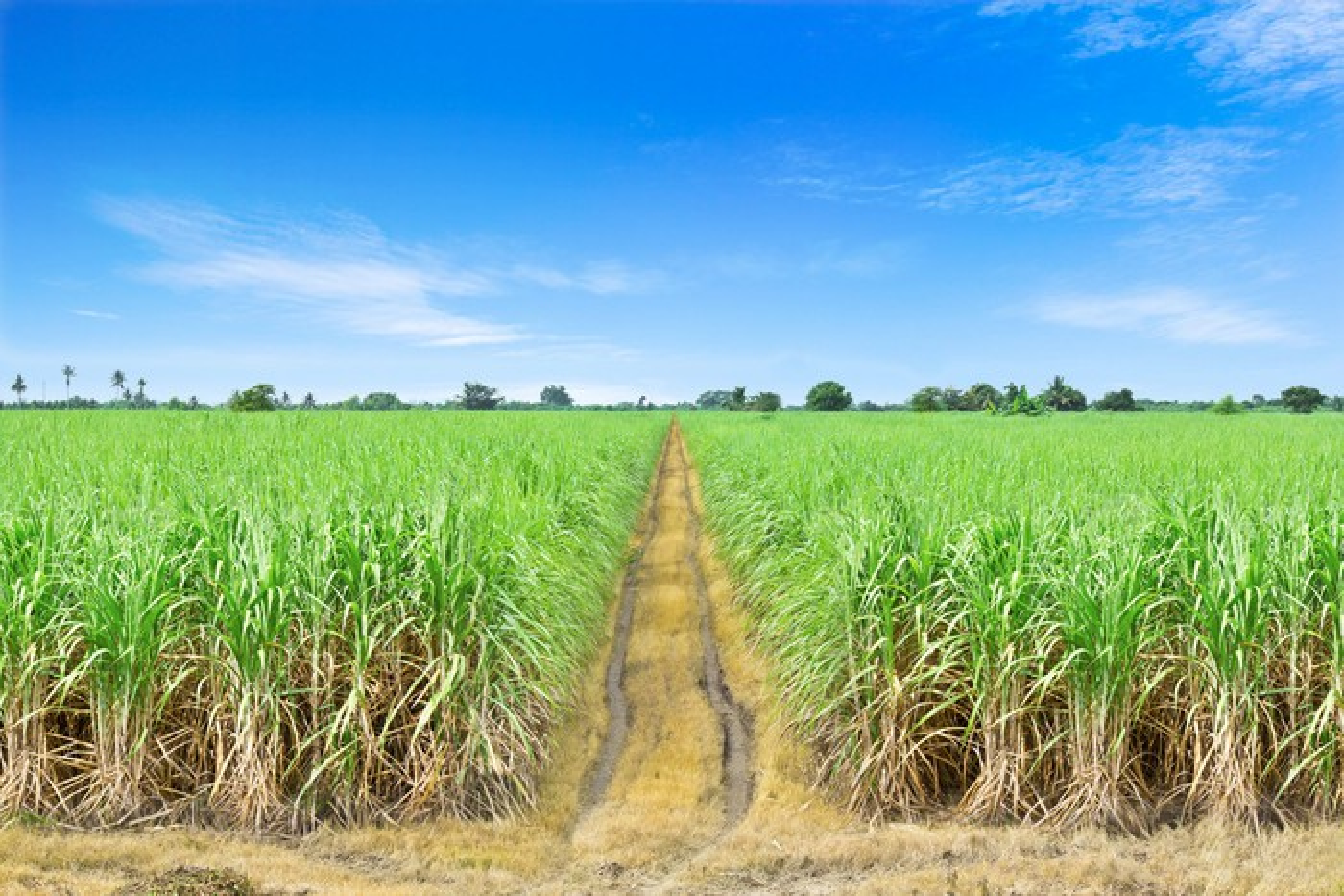 A sugarcane field.