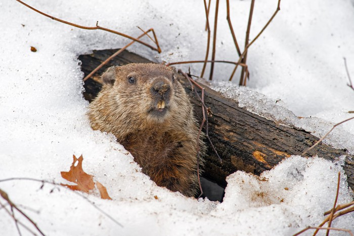 A gopher peeking out of the snow.
