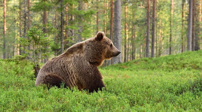 A magnificent bear in a forest