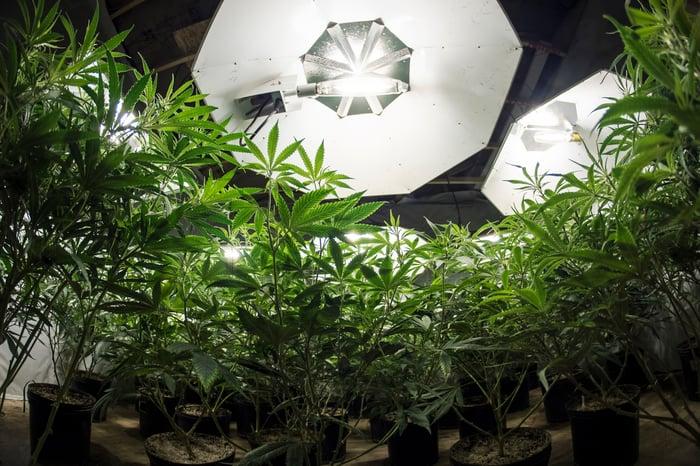 Marijuana plants growing under a light.