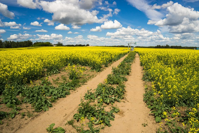 Access road to the pumpjack through canola field.