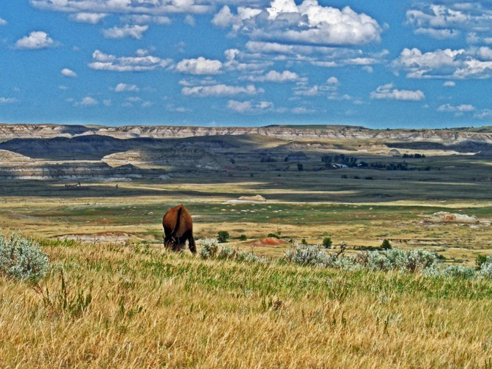 Bison grazing in Theodore Roosevelt National Park