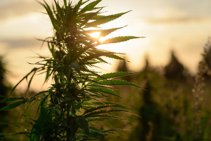 A cannabis plant growing in an outdoor grow farm with a sunrise in the background.
