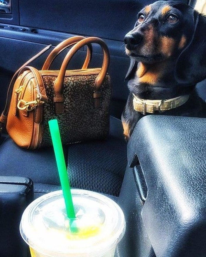 A small black-and-brown dog sitting in the front seat of a car with a Vera Bradley purse next to it.
