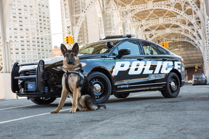 A German Shepard in police gear with the new Ford police sedan.