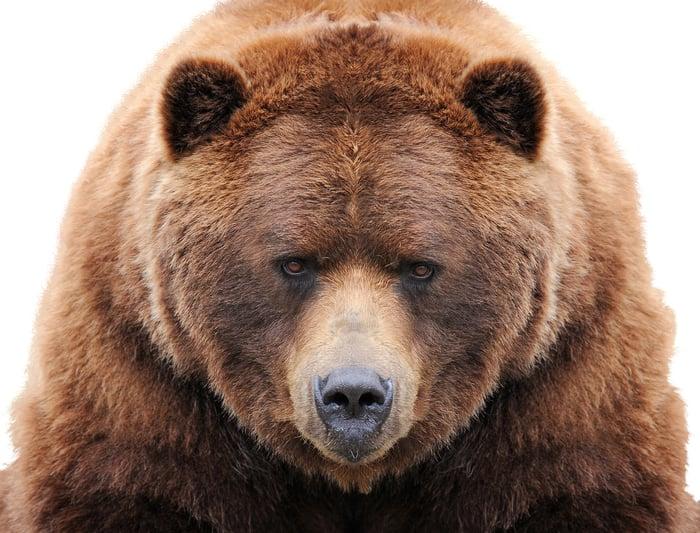 Image of a big bear staring forward.