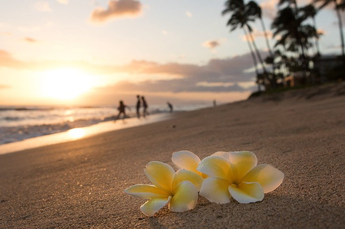 Plumeria flowers on the shore.