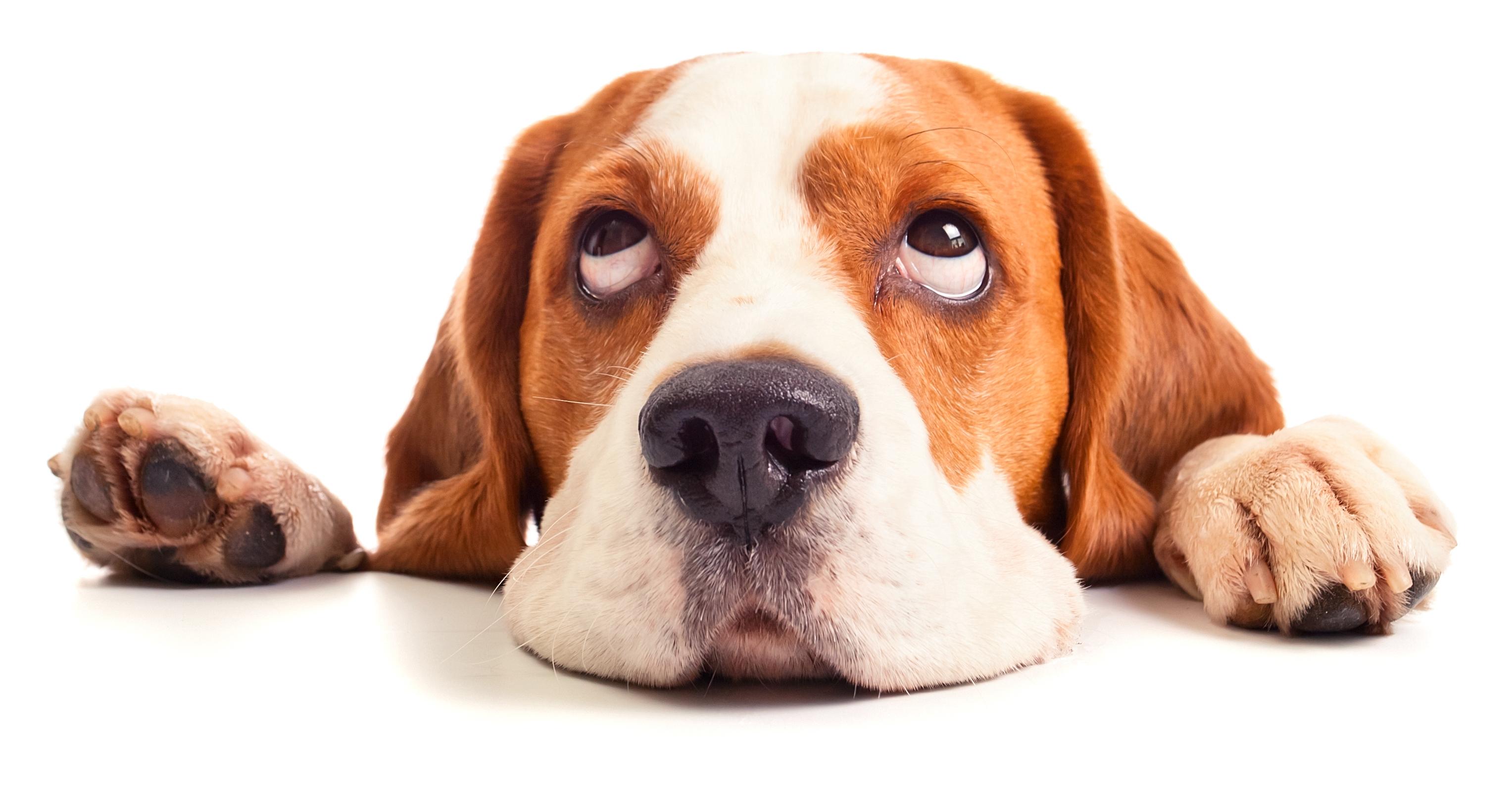 dog rolling eyes