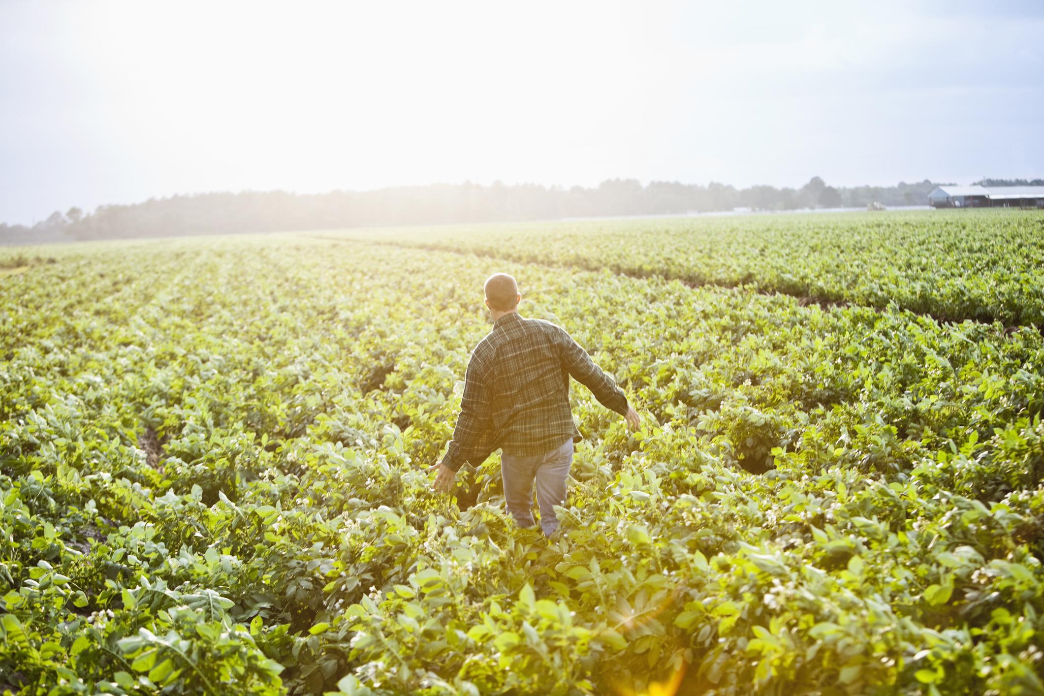 A farmer walking through his field.