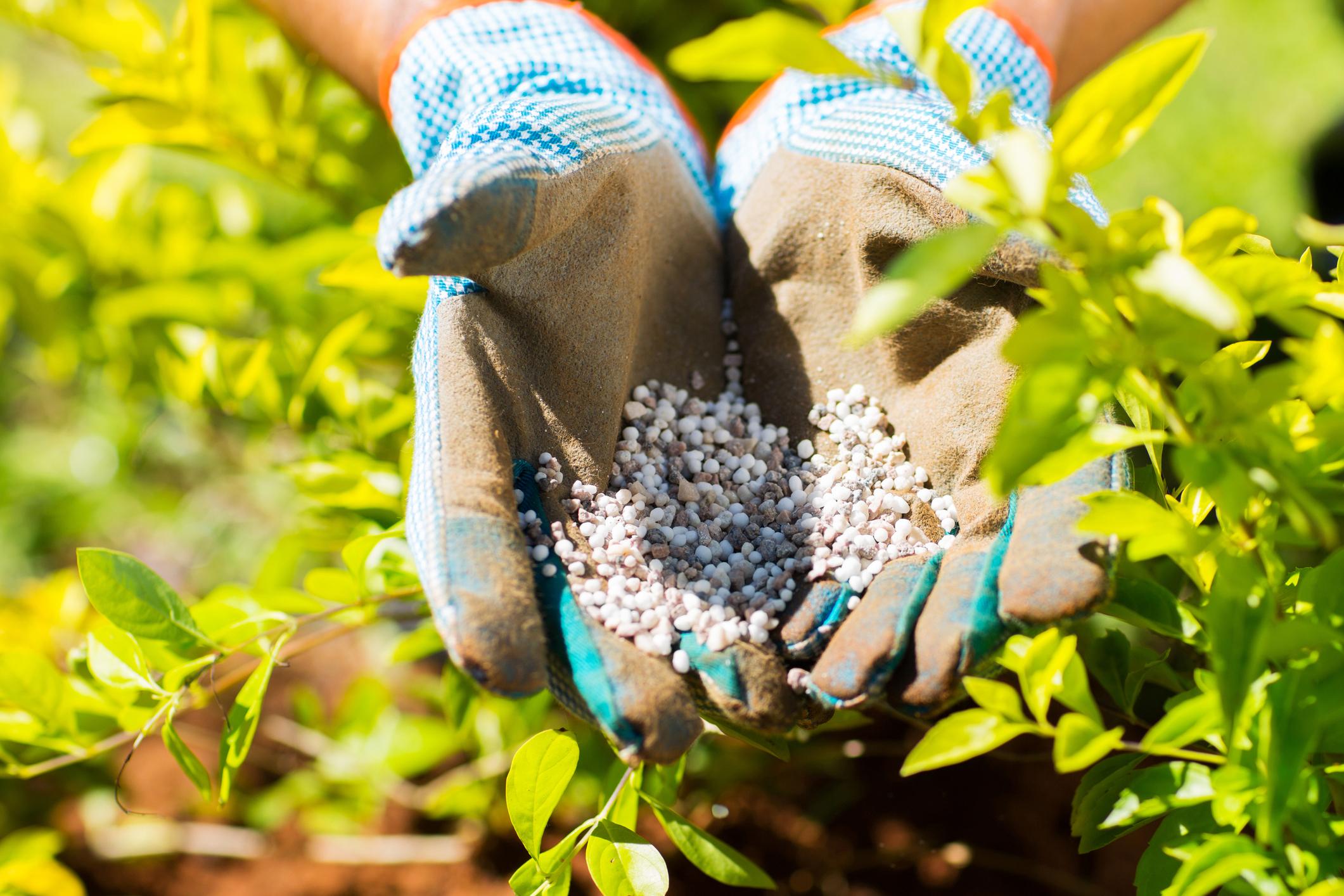 Two gloved hands hold nitrogen fertilizer pellets next to plants.