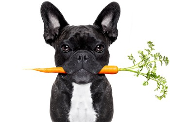 Dog Holding a Carrot