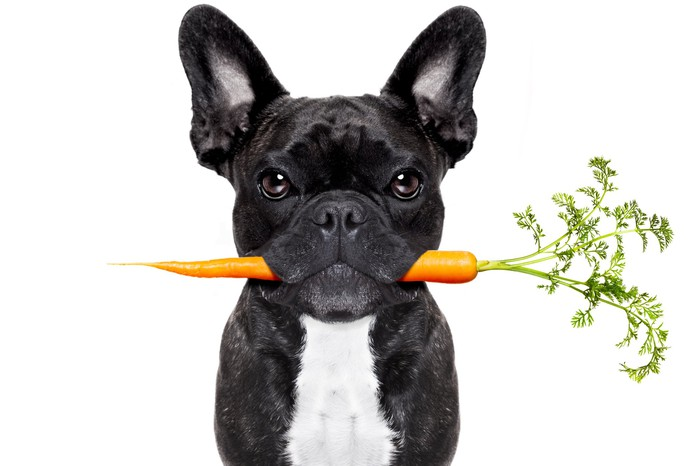 French bulldog holding a carrot in its mouth.