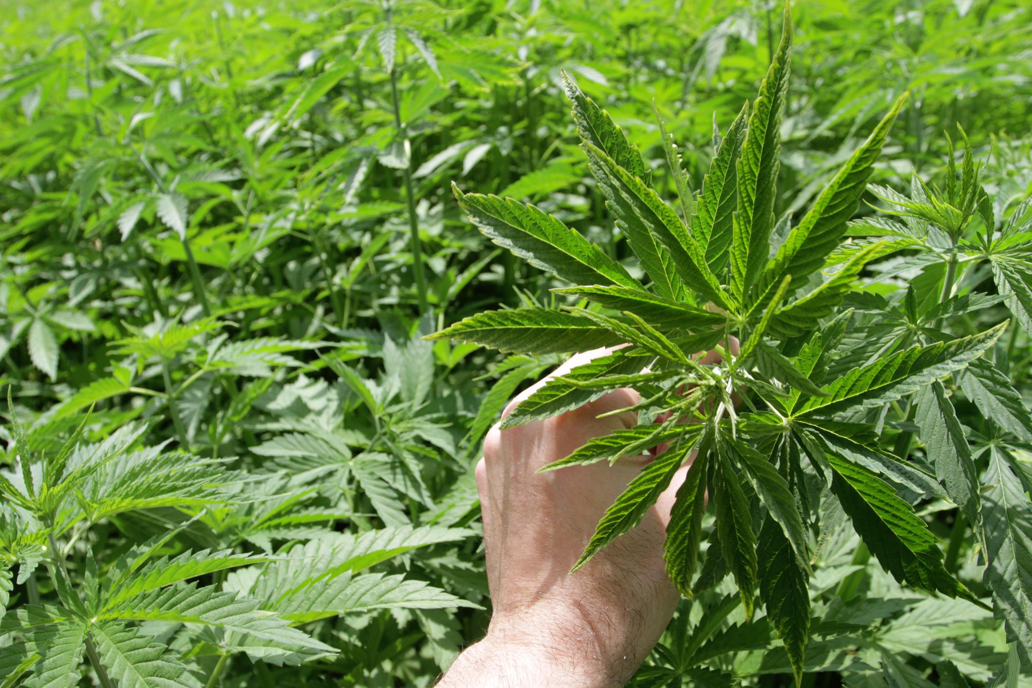 A hand holding a cannabis leaf amid a grow farm.