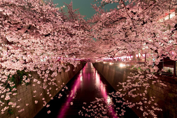 Picture of cherry blossoms over a river.