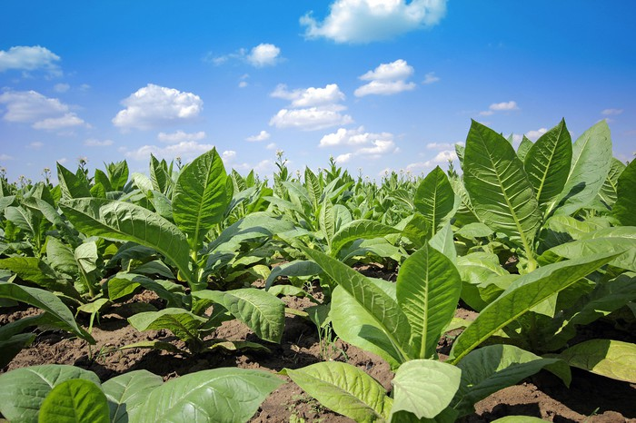 Tobacco plants in field