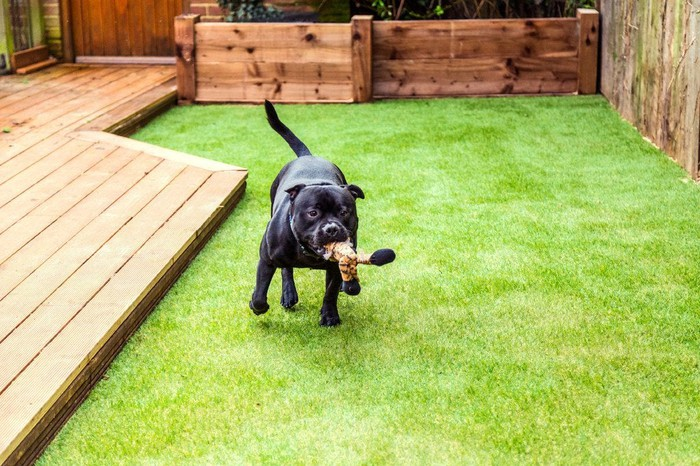 A dog plays in a backyard.