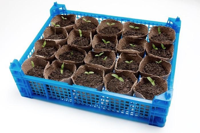 Potted seedlings.