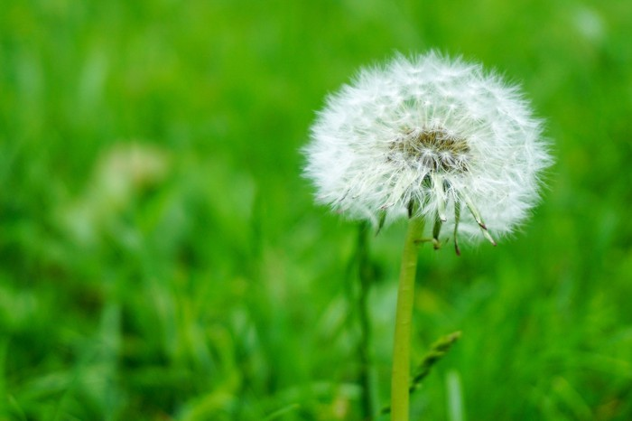 A dandelion gone to seed in a lawn.