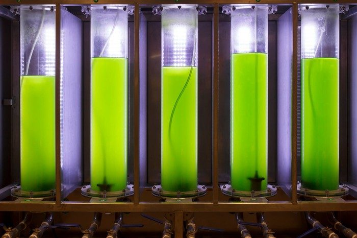 Photosynthetic algae growing in a lab.