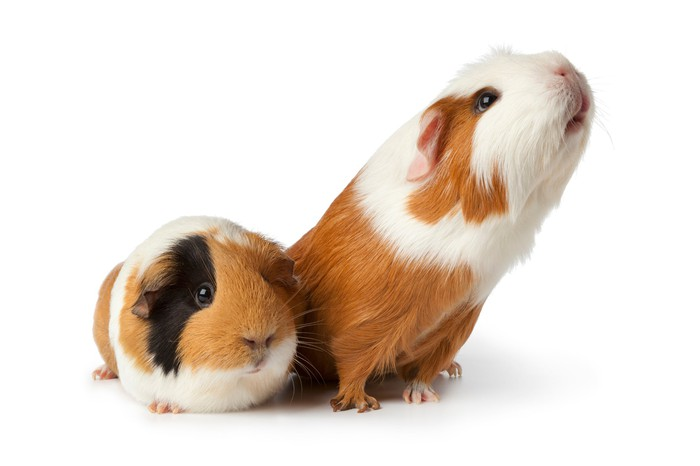 Two guinea pigs.