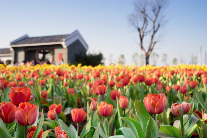A tulip garden in front of a home.