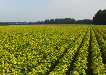 MO tobacco field