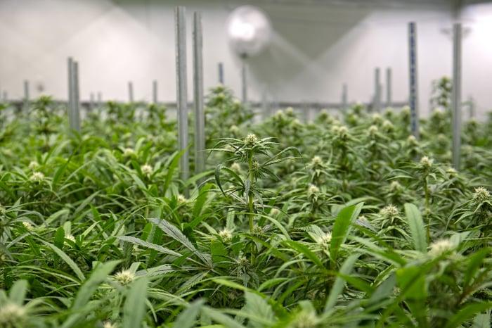 An indoor commercial cannabis grow farm under lights.