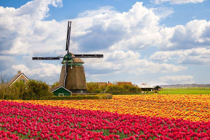 A classic Holland windmill in a field of tulips.
