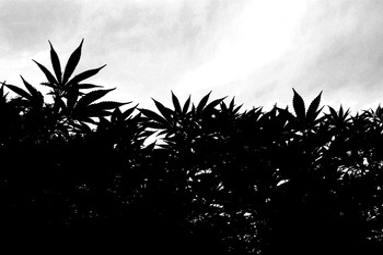 Cannabis garden silhouette