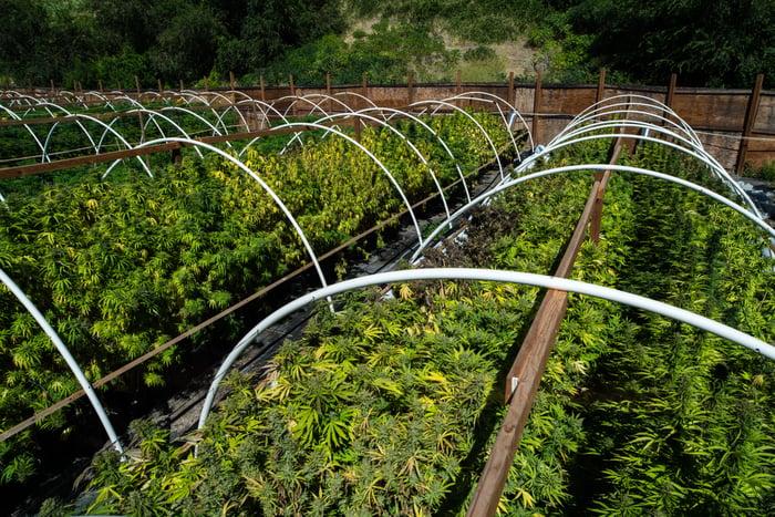 An outdoor commercial cannabis grow farm.