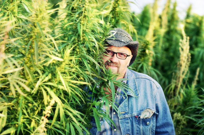 A man standing next to commercially grown hemp plants.