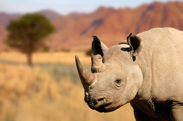 A black rhinoceros.