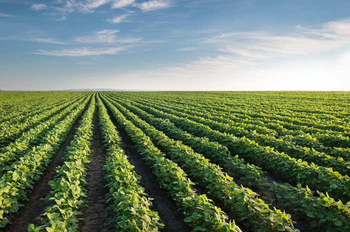 Rows of soybeans planted in a field, against a backdrop of a blue sky