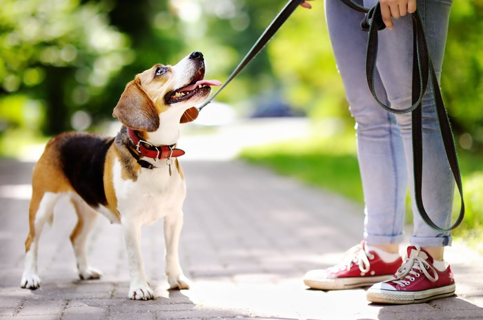 Dog staring up at woman holding its leash