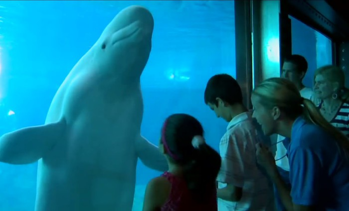 Dolphin up against the glass of an aquarium wall in front of family viewers.