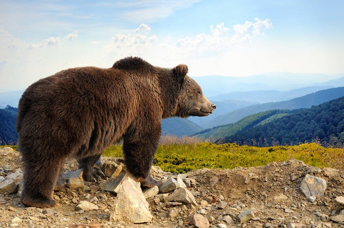 A bear on top of a mountain peak looking over a valley.