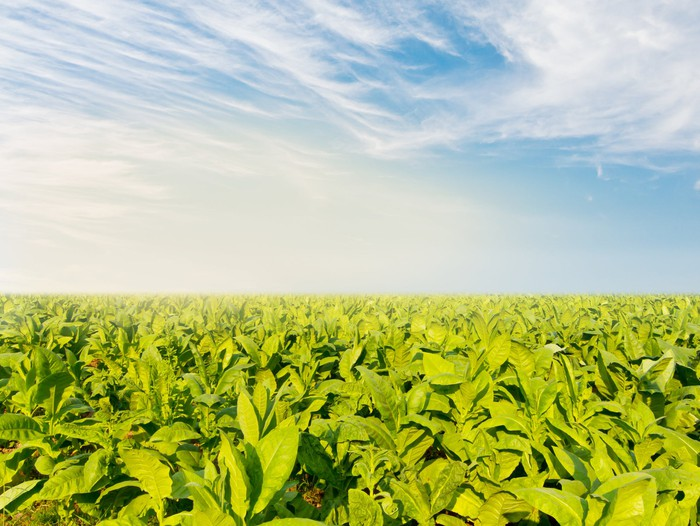 Tobacco field under partly cloudy sky