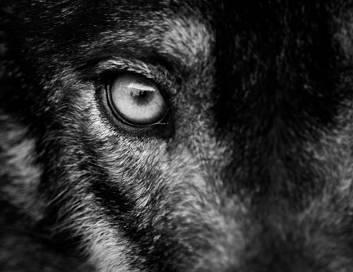The eye of a wolf on the hunt
