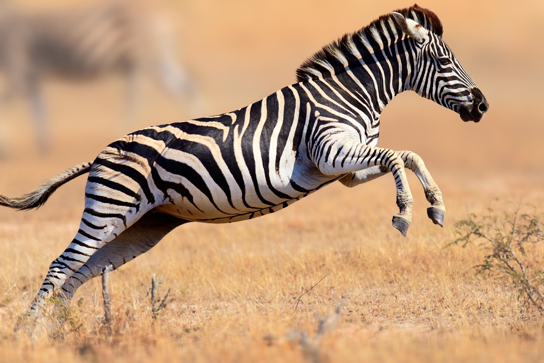 Zebra leaping