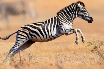 Jumping Zebra