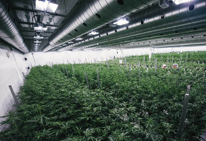 Rows upon rows of marijuana are growing inside a grow room.