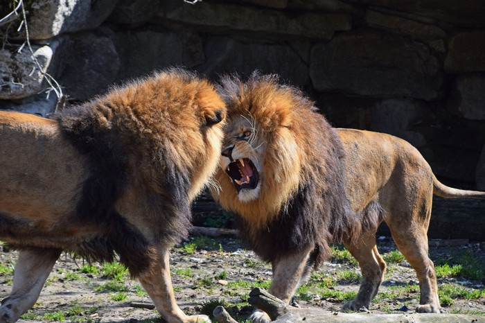 Two male lions facing each other, one snarling at the other.