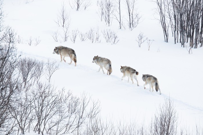 Four wolves walking single file through the snow