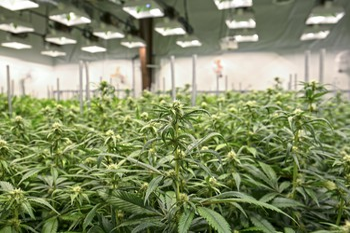 Marijuana GettyImages-672240216