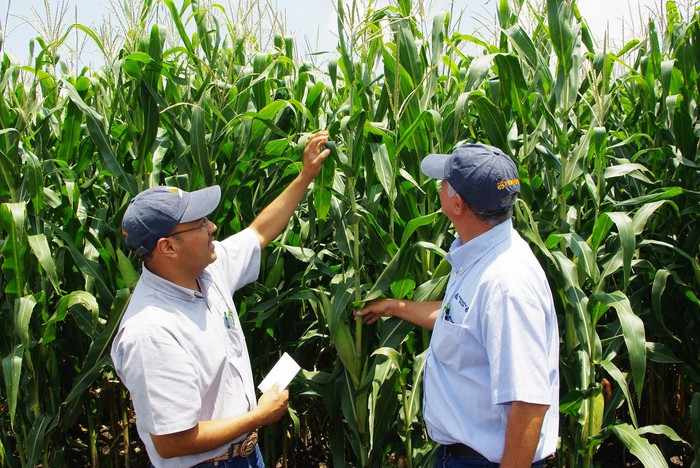 Two people in a cornfield looking at a corn plant.